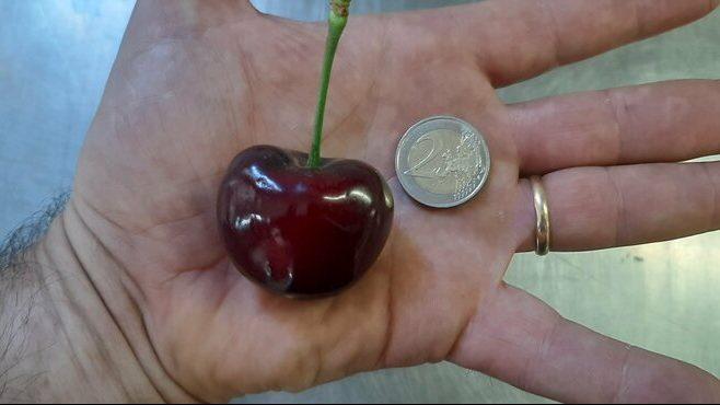 Leszüretelték a világ legnagyobb cseresznyéjét