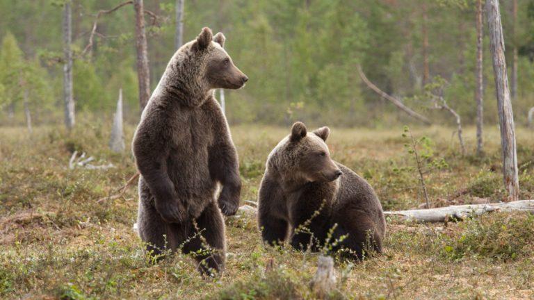Két medve sétált hajnalban Egerben