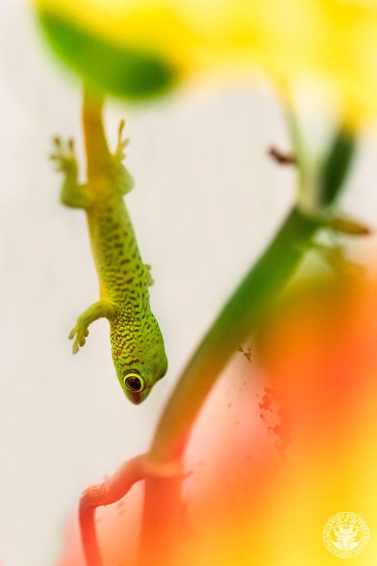Madagaszkári nappali gekkó kelt ki a Debreceni Állatkertben